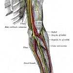 Lithografische Darstellung der Nerven des menschlichen Oberarmes